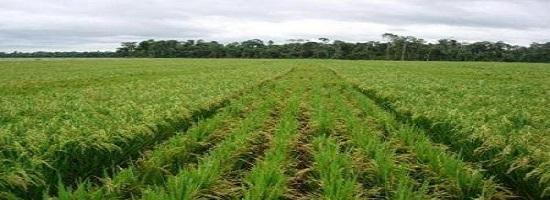 0705 65910 guinee la production rizicole est attendue a 1 6 million de tonnes en 20182019 m