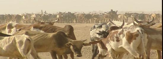 150495372 zebu herding herder cattle herd