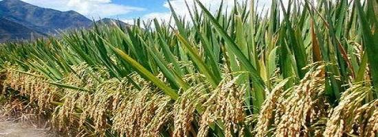 1607 58620 la bid debloque 170 milliards fcfa pour soutenir la filiere riz dans 10 pays africains m